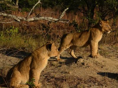 Lions in Hwange National Park