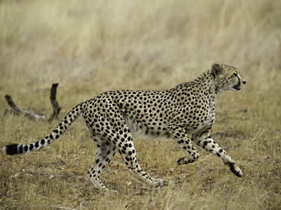 Cheetah In Hwange National Park