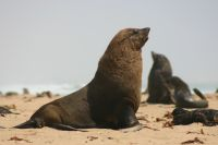 Cape Cross seals