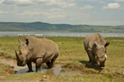 White Rhino at Lake Nukuru