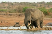 Elephant at Kasinga Channel