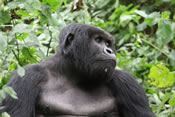 Gorilla in Bwindi Forest