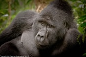 Gorilla at Bwindi National Park