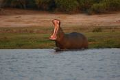 Yawning Hippo in the Kavango River